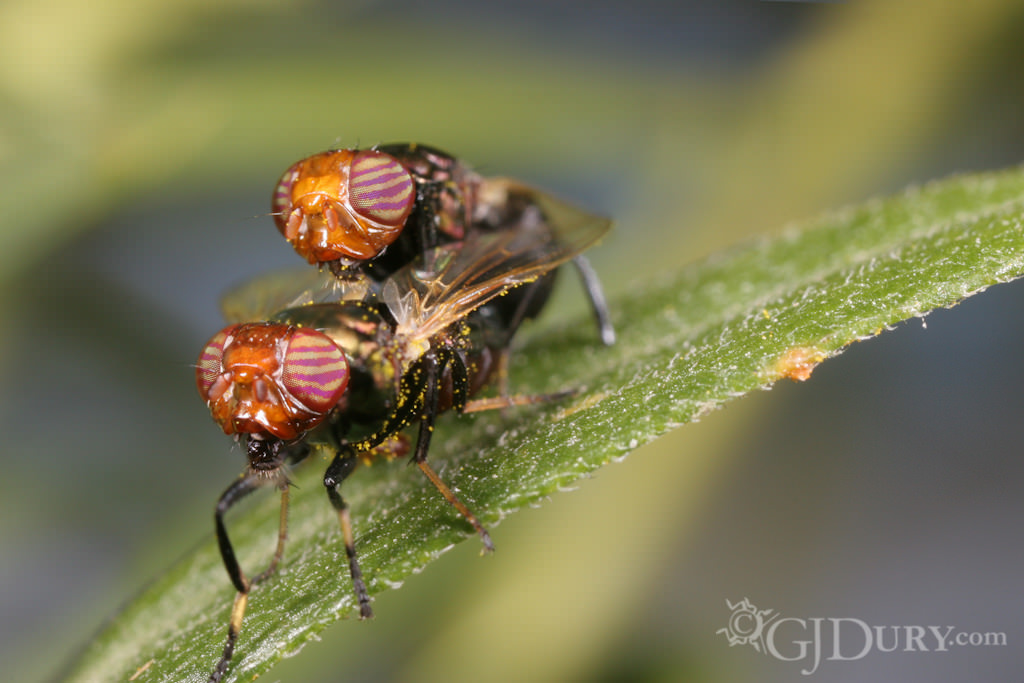 Mating flies Physiphora alceae, couple