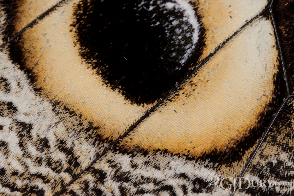 Eyespot of an Owl butterfly, Caligo memnon, wing scales