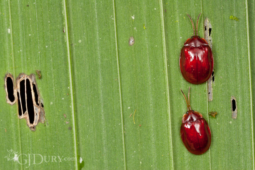 Red tortoise beetles couple