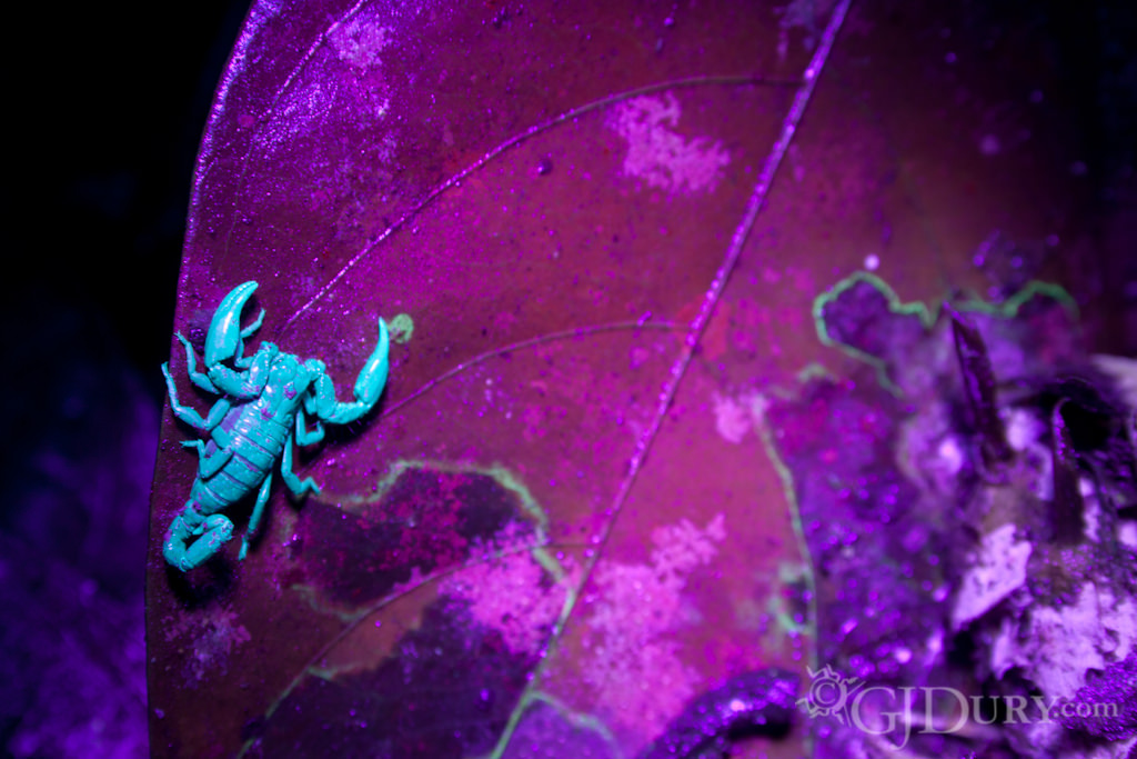 Scorpion in Ecuador under UV