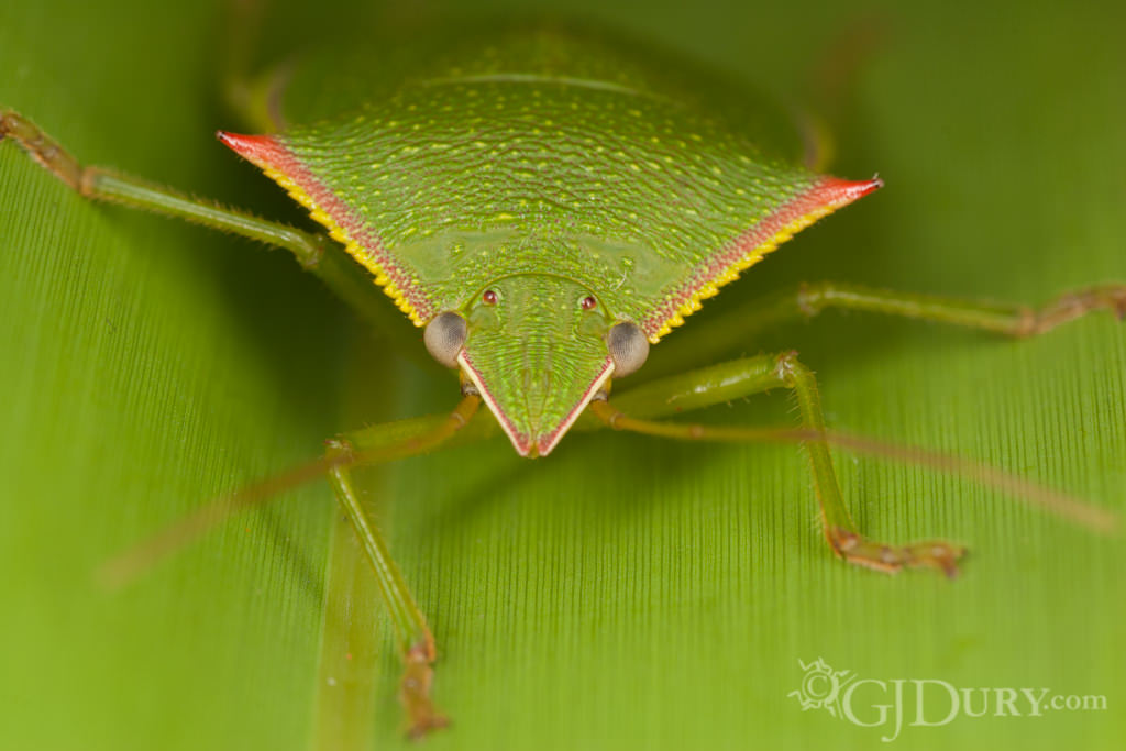 Spined stink bug, Loxa flavicollis